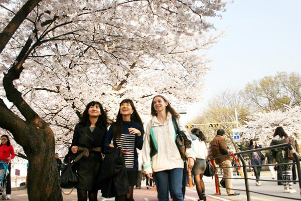Đầu tháng 4 có dịp thăm Hàn Quốc nhớ ghé qua đường hoa anh đào Yunjungno để chiêm ngưỡng. Ảnh: visitkorea.