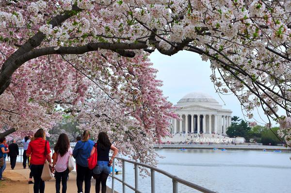Cuối tháng 3, bên bờ hồ Tidal cạnh dòng Potomac, những cánh hoa anh đào khoe sắc hồng rực rỡ. Ảnh: Washington.org.