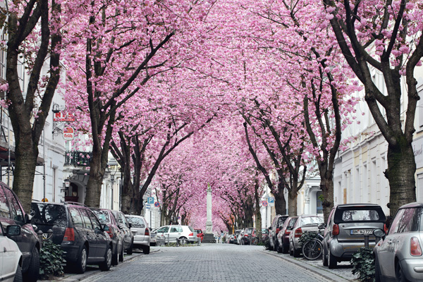 Alstadt được ví là đại lộ hoa anh đào. Ảnh: bildraaum.